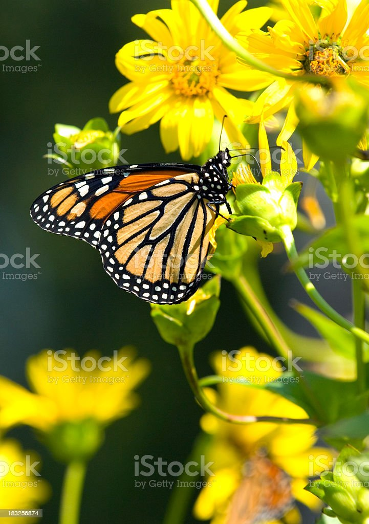 Monarch butterfly on sunflower stock photo