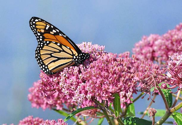 Monarch butterfly on swamp milkweed wildflower picture id478290541?b=1&k=6&m=478290541&s=612x612&w=0&h=836wzy pjgw06mbrhswzbr hbpi41vfn9lrzlmmudiq=