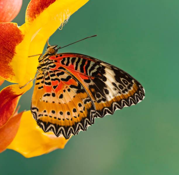 Monarch butterfly (Danaus plexippus) on thunbergia mysorensis stock photo