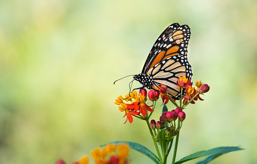 Monarch butterfly on tropical milkweed flowers
