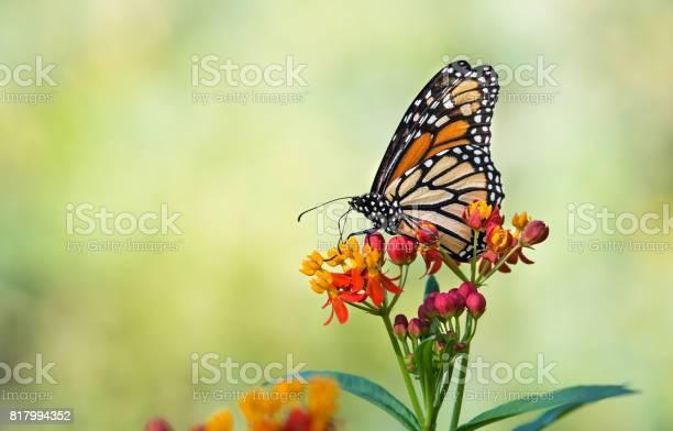 Monarch butterfly on tropical milkweed flowers picture id817994352?b=1&k=6&m=817994352&s=612x612&h=yfay5f2ghsd4w9u4wqyhhp5y5fq9gueebg 1ezqrtrq=