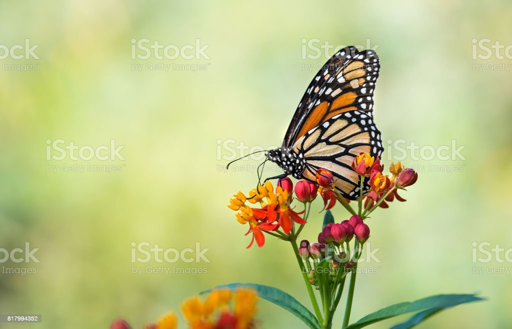 Monarch butterfly on tropical milkweed flowers stock photo