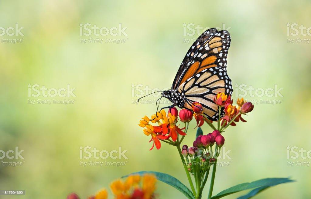 Monarch butterfly on tropical milkweed flowers - fotografia de stock