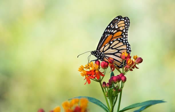 monarchfalter auf tropische wolfsmilch blumen - schmetterling stock-fotos und bilder
