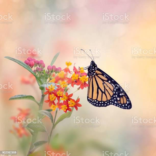 Monarch butterfly on tropical milkweed plant picture id902062908?b=1&k=6&m=902062908&s=612x612&h=kixkjlaahr8wbjbk9f0x6tlmx dbhwacmeczfkb6vhs=
