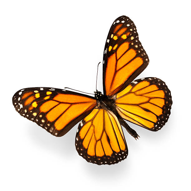 Monarch butterfly on white background picture id138278387?b=1&k=6&m=138278387&s=612x612&w=0&h=f32mcot7slm3zgsaxevakvjr3cghw8erl js7qoswlg=
