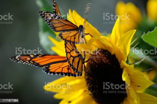 Monarch butterfly on yellow sunflower picture id1171977364?b=1&k=6&m=1171977364&s=612x612&h=vgigppa2jl5z37x7fdeqxbepaogqmdalop9z2ikvdtu=