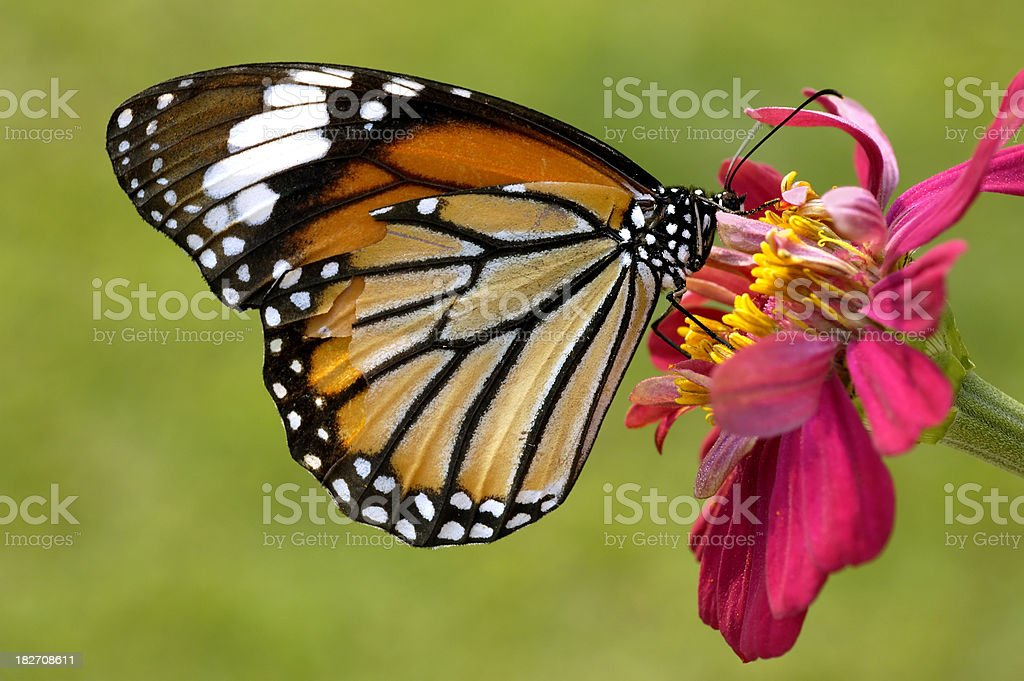 Monarch Butterfly on Zinnia stock photo