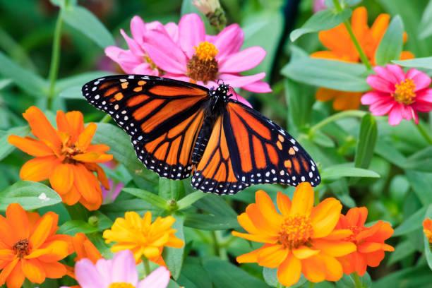 Monarch Butterfly on Zinnias