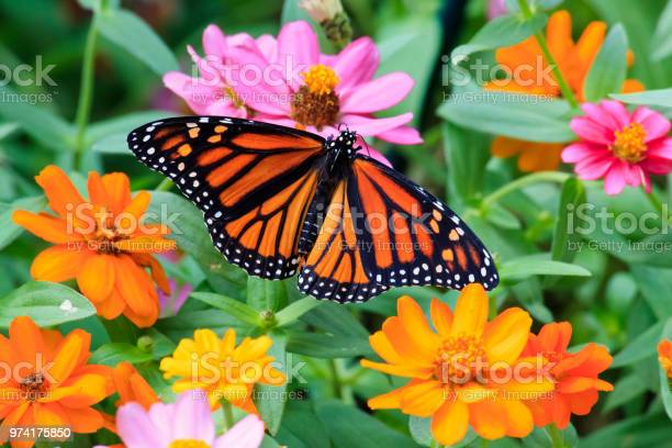 Photo of Monarch Butterfly on Zinnias