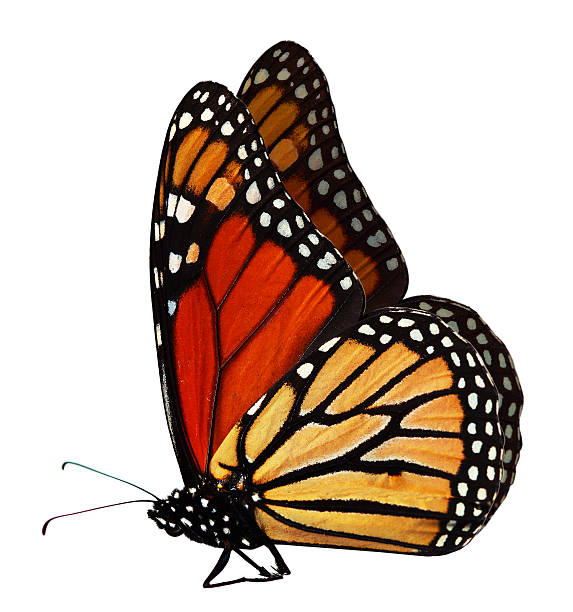 Monarch butterfly over a white background picture id92871627?b=1&k=6&m=92871627&s=612x612&w=0&h=qv2ni9zt6jve5skriju s7q 5wbbaqtycdwz lqpdgq=