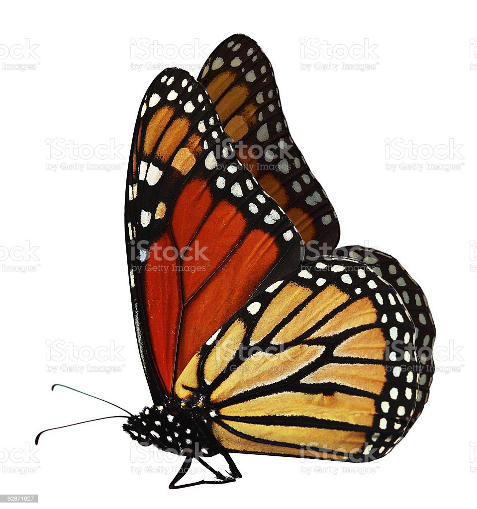 Monarch butterfly over a white background stock photo