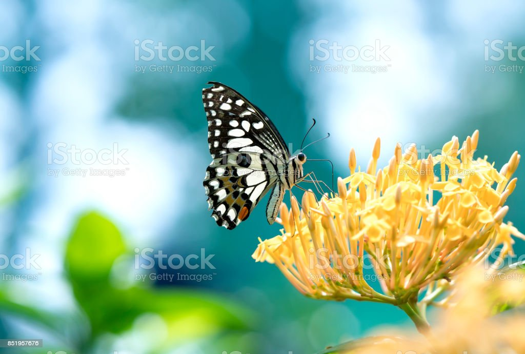 Monarch-Schmetterling auf der Blumenstiel in der sonnige Morgen im Garten geparkt – Foto