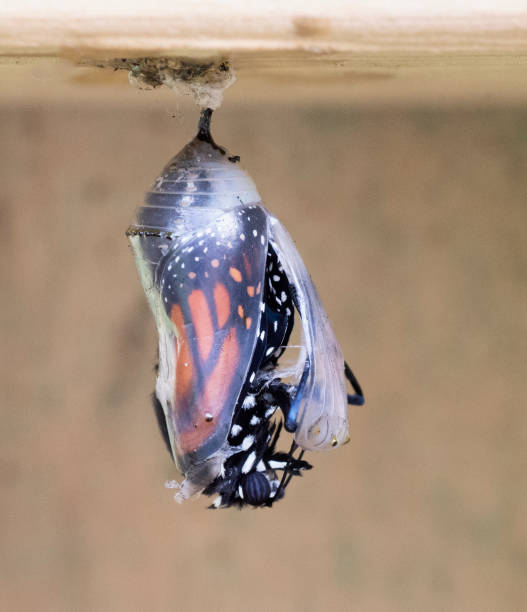 Monarch butterfly partially emerged from chrysalis picture id941140694?b=1&k=6&m=941140694&s=612x612&w=0&h=ibgi4lfaril gebuhozta67cypd127yf2w gp2pc0 w=