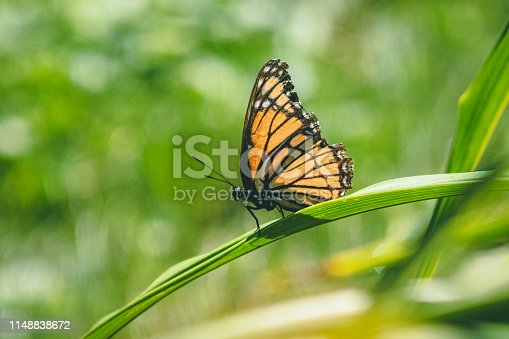 Small monarch butterfly in the sun perched on a tiny blade of grass.