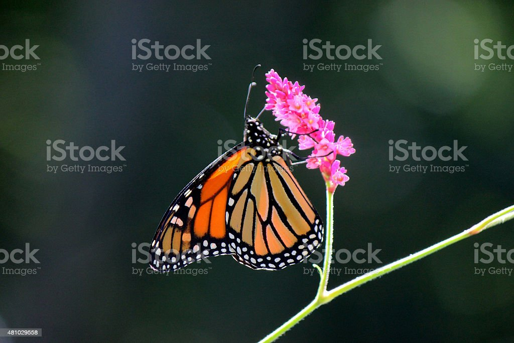 Monarch Butterfly Perched on Pink Flower stock photo