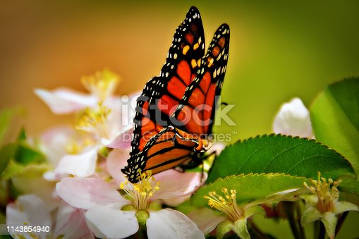 Close up of a monarch butterfly perched on an apple blossom