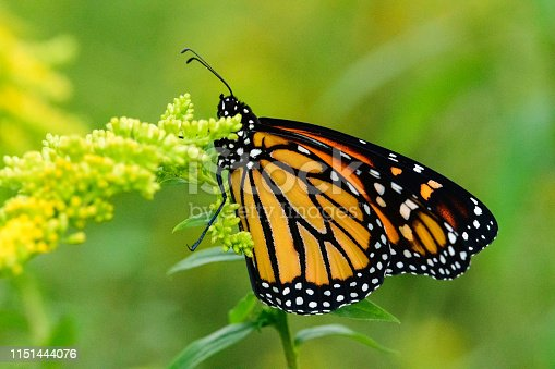 Monarch Butterfly (Danaus plexippus) feeding on yellow flowers on a weed