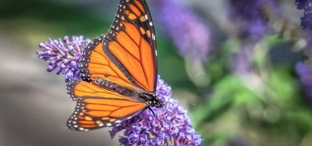 Monarch butterfly picture id1198331598?b=1&k=6&m=1198331598&s=612x612&w=0&h=lake ze77ewkte2kyeqvujyt5sweizjj dw9ulxf2pe=