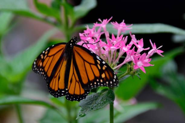 Monarchfalter – Foto