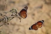 Two beautiful monarch butterflies closeup