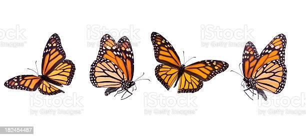 Monarch butterfly picture id182454487?b=1&k=6&m=182454487&s=612x612&h=kli3pubdtdlx cxmhokv42xpgzmjdbkp6a8mbnhqigw=