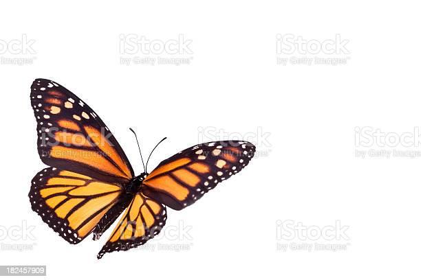 Monarch butterfly picture id182457909?b=1&k=6&m=182457909&s=612x612&h=t z4ntllk24phzrb0qz2i1qg4infapj8gf xwcl2hpa=