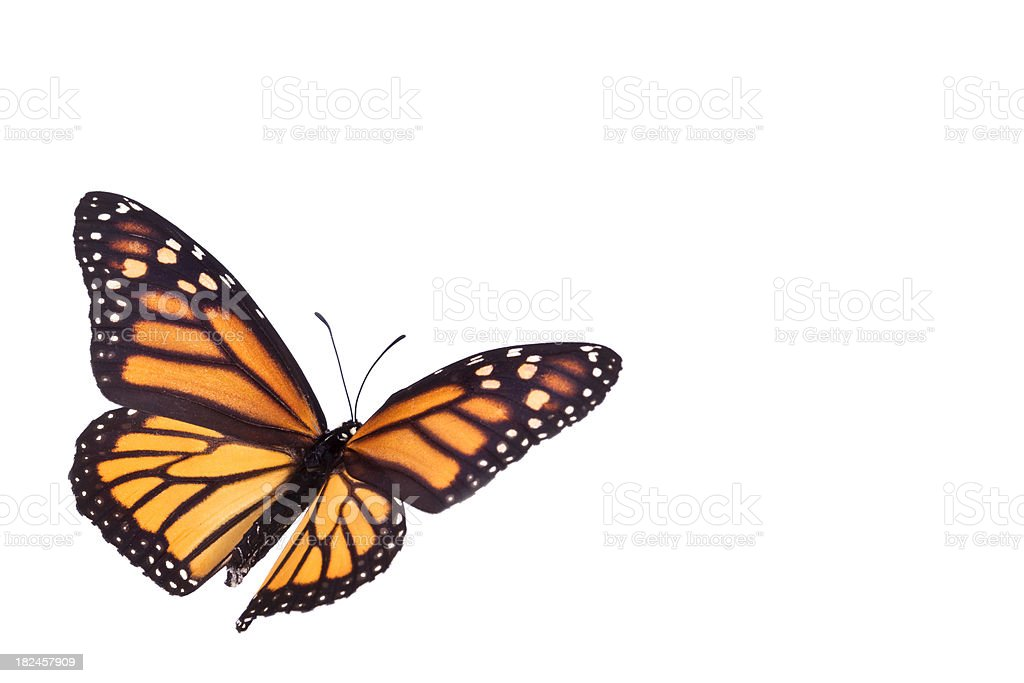 Monarch Butterfly – Foto