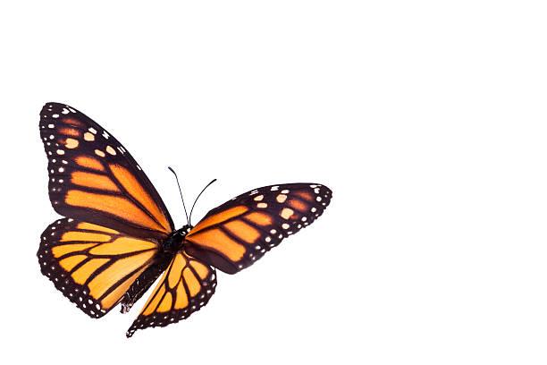 Mariposa monarca - foto de stock