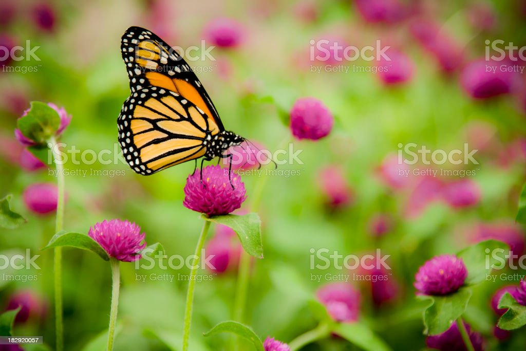 Monarch Butterfly (Danaus Plexippus) royalty-free stock photo