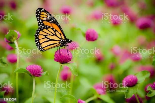 Monarch butterfly picture id182920057?b=1&k=6&m=182920057&s=612x612&h=5e32 qaaxzdqslbmwj7ixakv5h0hb5ihnoqhatxm n8=