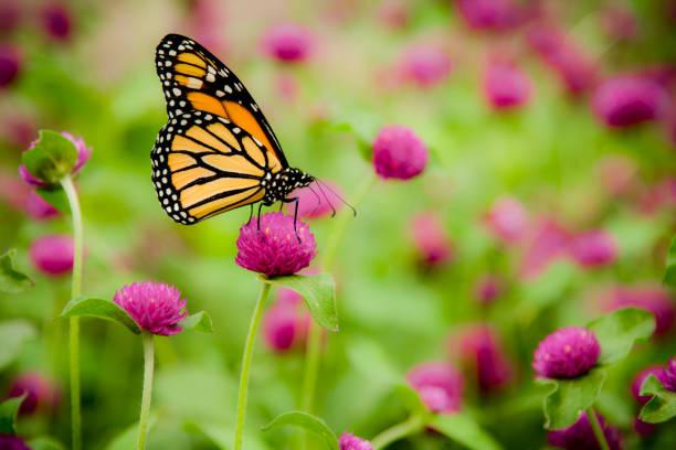 Monarch butterfly picture id182920057?b=1&k=6&m=182920057&s=612x612&w=0&h=hlsetsb0yiubvjeayu1bnwgzgjgpupgvw81wpr16bm0=