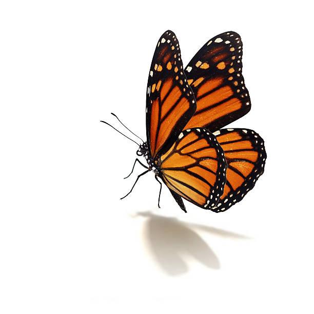 Monarch butterfly picture id468370580?b=1&k=6&m=468370580&s=612x612&w=0&h=c y44tn6otpp1p26xze4dwh2zwe0jdmde e31uwmvrm=