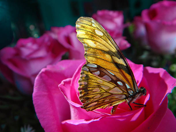 Monarch Butterfly Spring  brings the Monarch Butterflies to Central Mexico. alas stock pictures, royalty-free photos & images