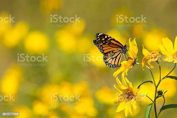 Monarch butterfly picture id604372058?b=1&k=6&m=604372058&s=612x612&h=1tolujv v8xeprmnpelyraguo8zxf mn6t8yirm2gli=