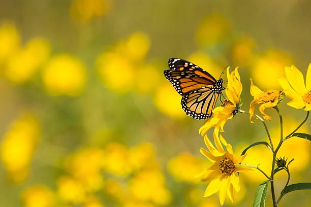 Monarch butterfly picture id604372058?b=1&k=6&m=604372058&s=612x612&w=0&h=h9axjecy9 s2hw2yolwtpqcoyklfyeppvxadpkrawru=