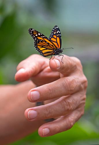 istock Monarch butterfly 922887274