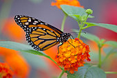 Closeup of a monarch butterfly with flowers