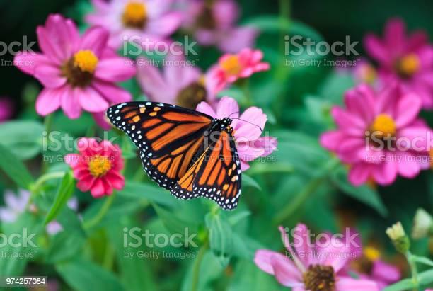Monarch butterfly picture id974257084?b=1&k=6&m=974257084&s=612x612&h=chowpqomkwbsurqxjf7g9h4bh0ugsharbfil0w4dq0o=