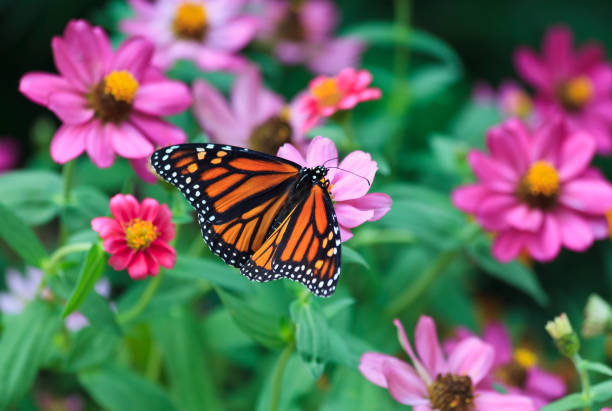 Monarch butterfly picture id974257084?b=1&k=6&m=974257084&s=612x612&w=0&h=dkbqxnh kpyt wf2szdzlrd3akfti fttieun idy0q=