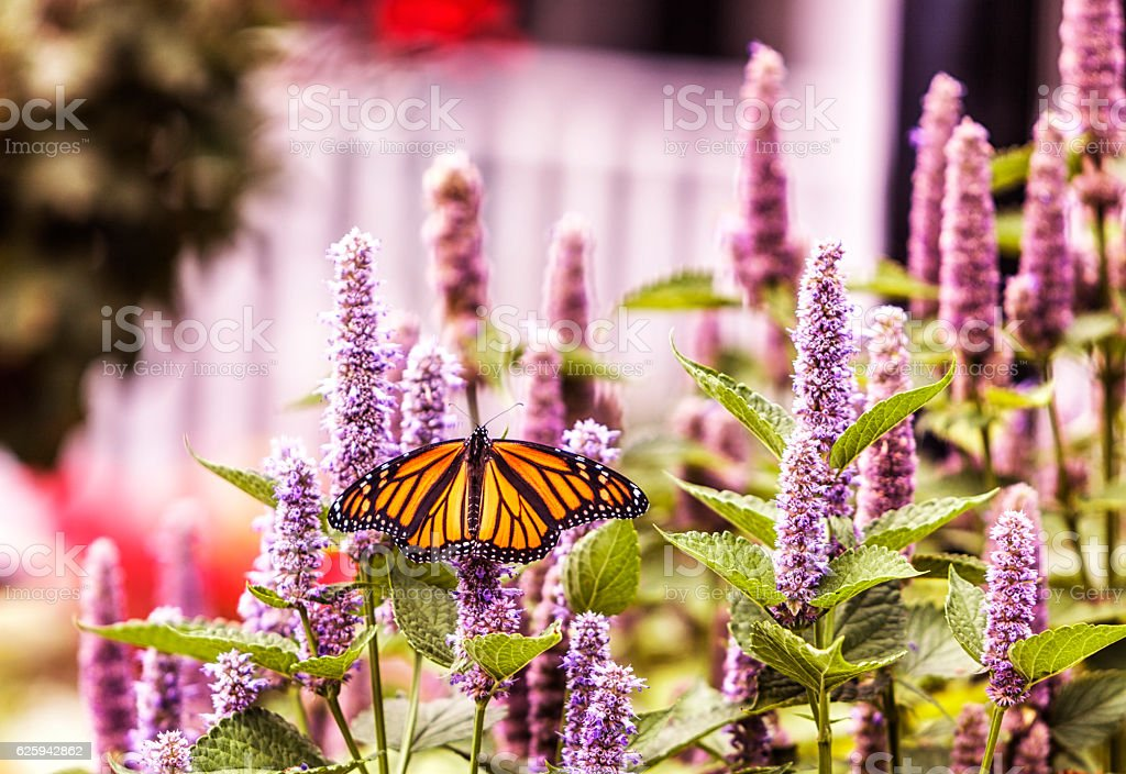 Monarch Butterfly Pollinating Hyssop Flower Blossoms stock photo