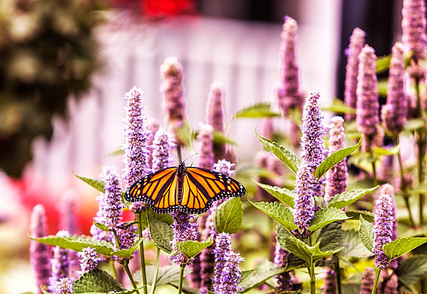 Monarch Butterfly Pollinating Hyssop Flower Blossoms – Foto