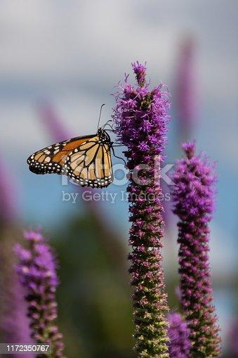 Monarch Butterfly & Prairie Blazing Star