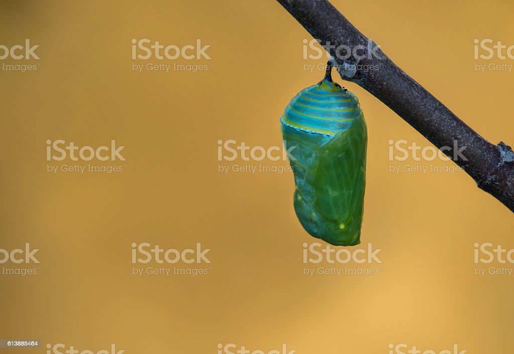 Monarch Butterfly Pupae stock photo