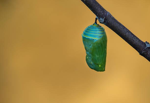monarch butterfly pupae - 누에고치 뉴스 사진 이미지