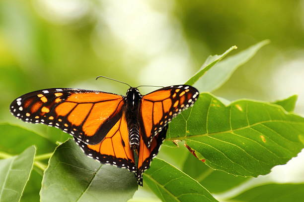 Monarch Butterfly Resting in the Leaves stock photo