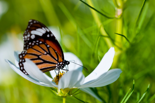 Monarch Butterfly Resting On A White Flower Stock Photo