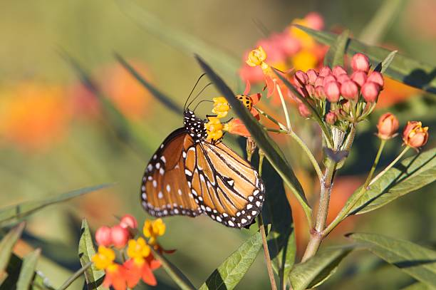 Monarch butterfly samples wildflowers