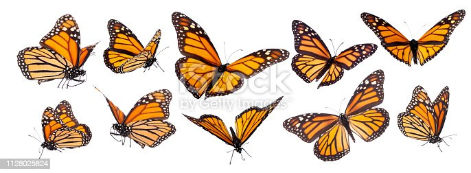Variation on different positions of the beautiful Monarch butterfly with legs and proboscis isolated on white
