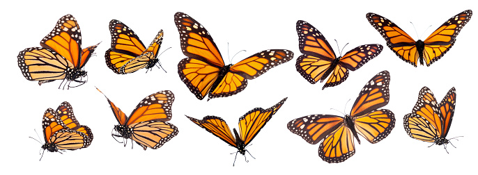 istock Monarch Butterfly Set Isolated 1128025824
